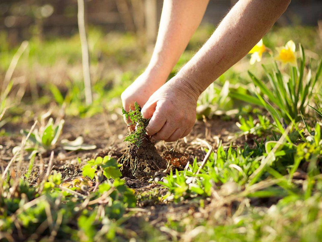 diệt cỏ dại