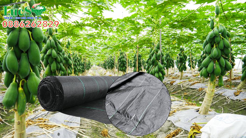 Bạt phủ trồng đu đủ giúp mang lại hiệu quả kinh tế cao